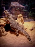 Liz Lemon the Uromastyx