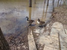lake needwood geese